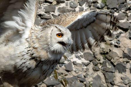 hooked up: Eagle owl taking off Stock Photo