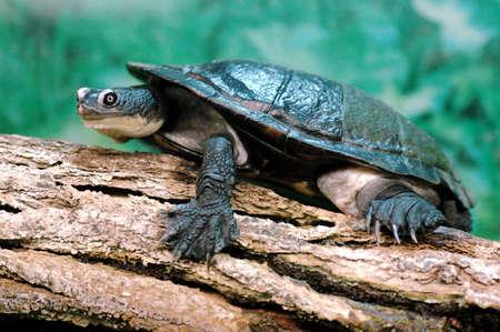 freshwater aquarium: Snake-neck turtle resting