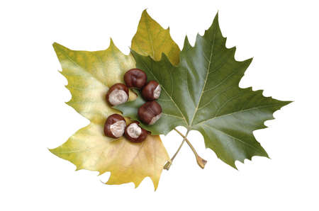 Autumn maple leaves with chestnuts  isolated  photo