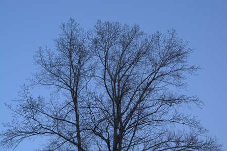arbol alamo: Sin hojas del árbol de álamo en el azul del cielo de la tarde.