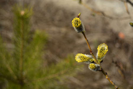 osier: Flowering pussy-willow branch. Blooming osier. Spring background photo. Stock Photo