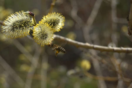 osier: Flowering pussy-willow branch with flying bee. Blooming osier. Spring background photo.