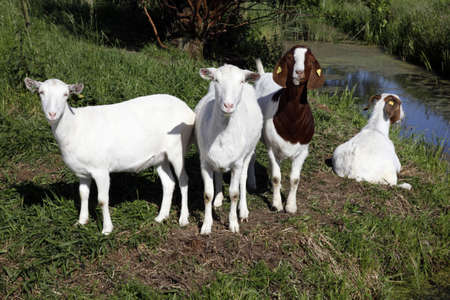 four goats in grassy meadow behind ditch