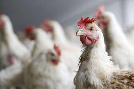Huhn in die Kamera schaut mit anderen Hühnern im Hintergrund