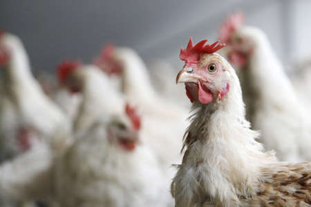 kip kijkt in de camera met anderen kippen op de achtergrond