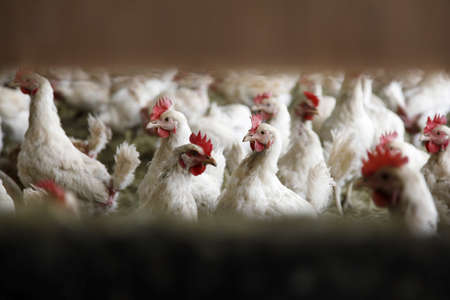 looking into chicken farm between two boards Stock Photo