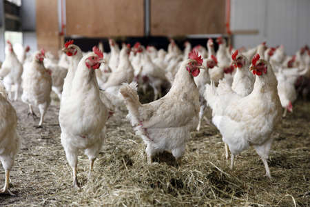 biological chickens receive dried grass photo