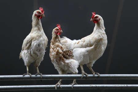 暗い背景に対して 3 つの白い鶏 写真素材