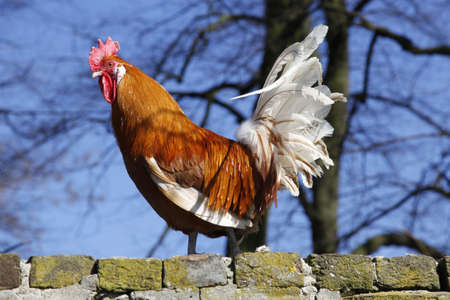 fertility emblem: rooster in the sun on brick wall with blue sky