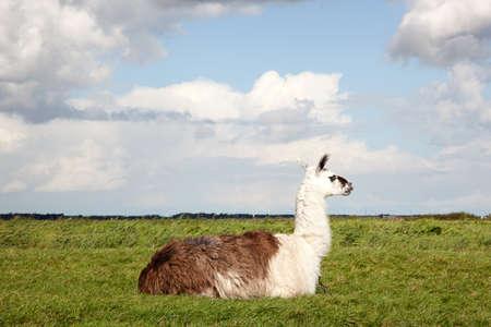 polder: a llama lying in the grass of a Dutch polder Stock Photo