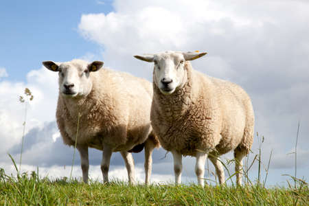 two sheepstanding symmetrically in the grass