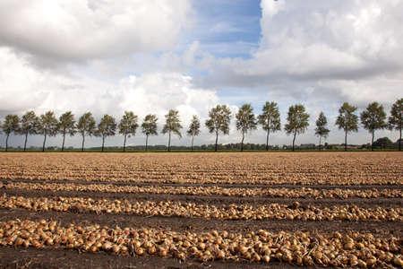 玉ねぎはオランダのフィールドを収穫する準備ができてください。