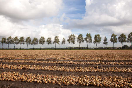 onions ready to be harvested on a field in Holland