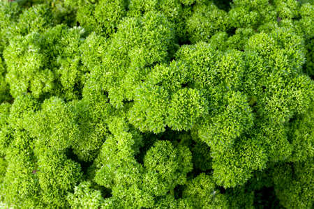closeup of parsley plant in the garden