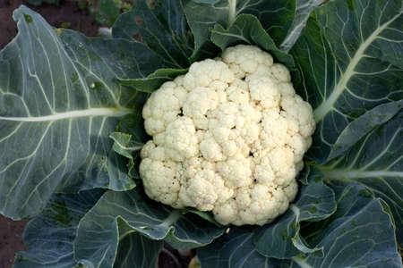 cauliflower between dark green leaves in garden photo