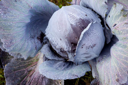 red cabbage growing in the garden with droplets