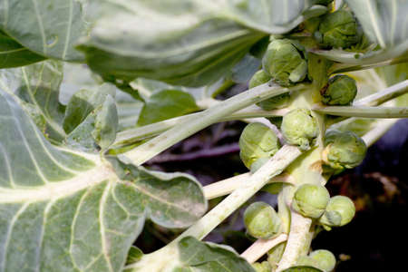 Brussel sprouts on plant with stem and leaves