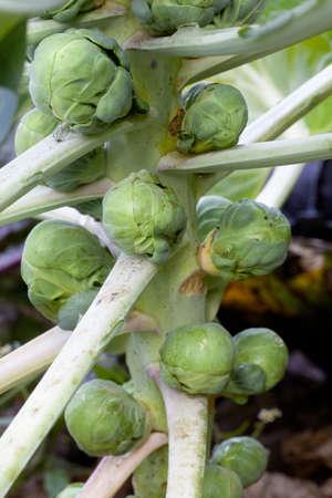 芽キャベツの庭で植物の茎