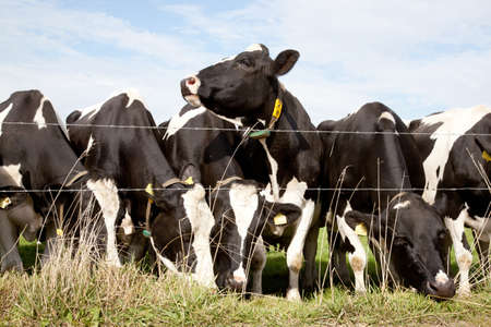 row of black and white cows behind barbed wire photo