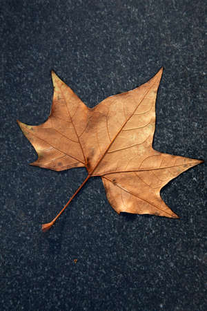 bruin herfstblad van esdoorn op zwart marmer
