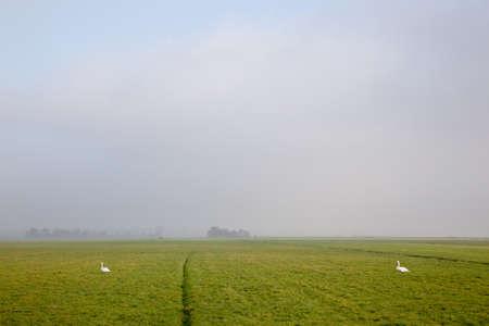 polder: two swans in meadow dutch polder arkemheen