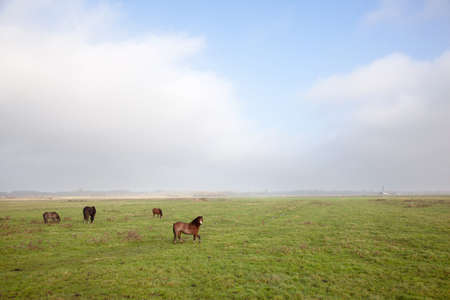 dark horse and brown ponies in dutch polder photo