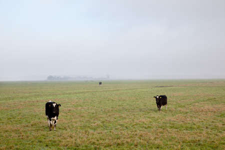 three black and white cows in dutch polder photo