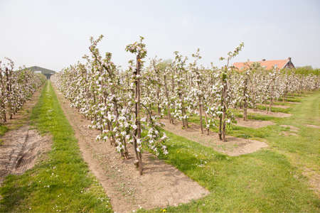 blooming apple orchard and farm house in The Netherlands near Utrecht
