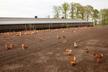 brown outside chicken at poultry farm in The Netherlands