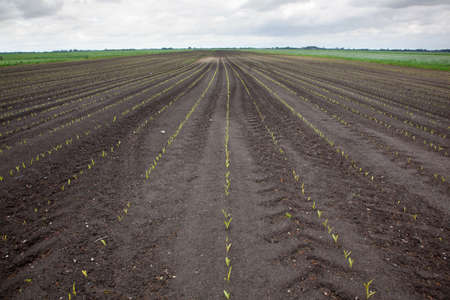 rows of young plant on field in Eempolder in the Netherlands