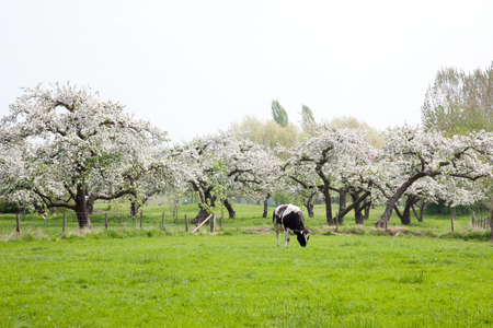 black and white cow in front of blossoming fruit trees in the Netherlands near Utrecht