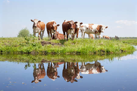 young cows in a meadow reflected in water