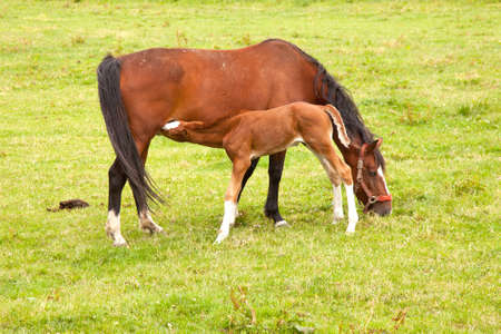 brown foal drinks from mare in grassy meadow photo