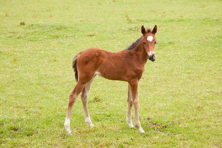 brown foal in green grassy meadow Stock Photo