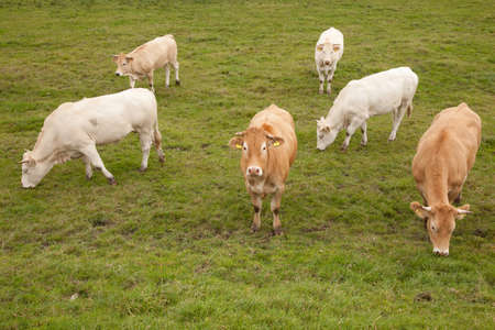 white and brown cows in  meadow in the netherlands