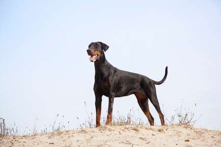 doberman standing in the sand under blue sky