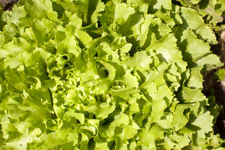 escarola: hojas rizadas verdes de lechuga escarola crece en el jard�n