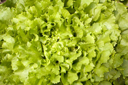 endive: green curly leaves of endive lettuce growing in garden Stock Photo