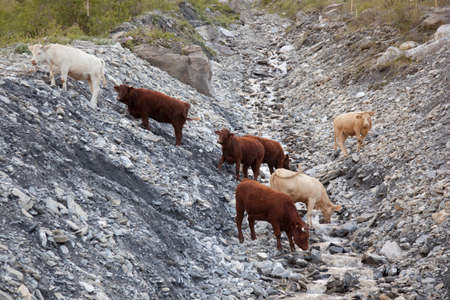 cows drinking from stream in beautiful mountain landscape of the haute savoie in france photo