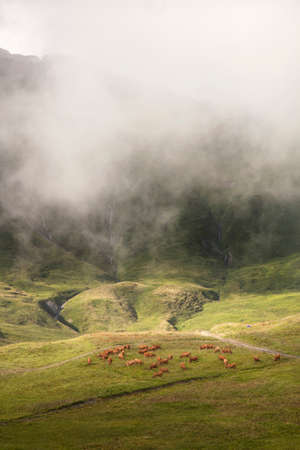 brown cows grazing in beautiful mountain landscape of the haute savoie in france photo