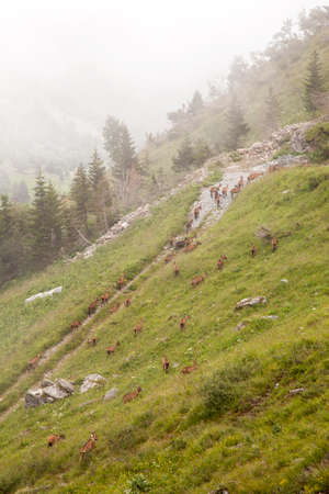 brown goats in the french alps of the haute savoie photo