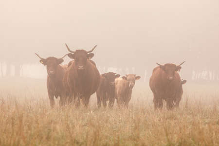 long horned cattle in the morning mist of the french Jura region  Stock Photo