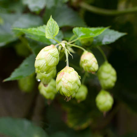 common hop: blooming common hop of the cannabaceae family Stock Photo