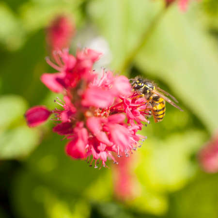 wasp on pink red persicaria in the sun photo