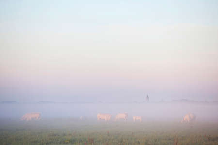 white meat cows in dutch eempolder at misty sunset