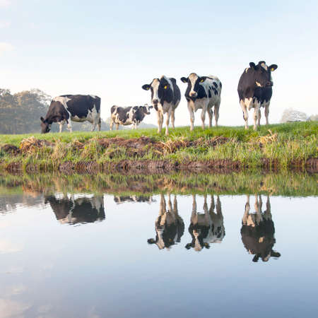 cows in a meadow near zeist in the Netherlands with reflections in the water of a canal photo