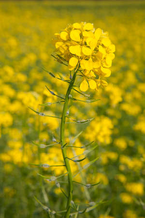 flower of yellow mustard seed in field of sinapis alba