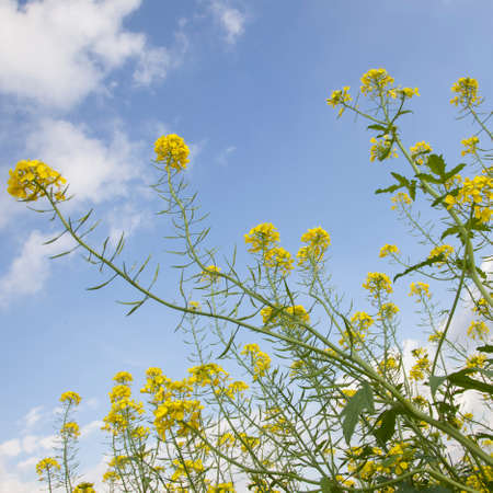 flowers of yellow mustard seed in field of sinapis alba with blue sky Reklamní fotografie