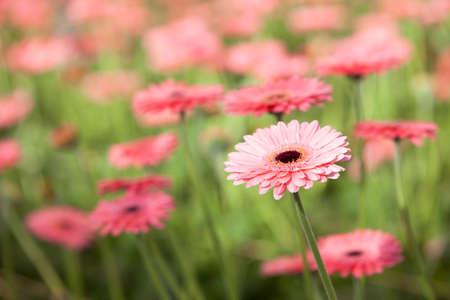 adentro y afuera: flores de gerbera rosa con otras flores en fondo fuera de foco
