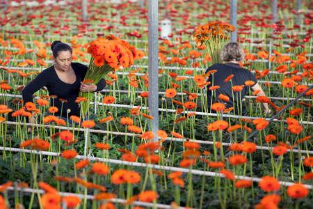 vrouwen verzamelen bloemen in professionele kas in holland